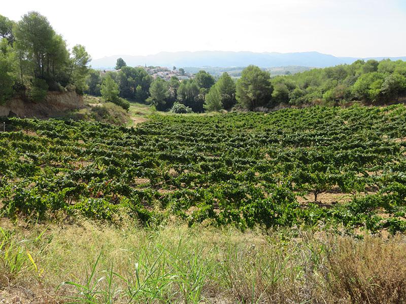 Vinyes del Celler Can Casals a Sant Esteve Sesrovires