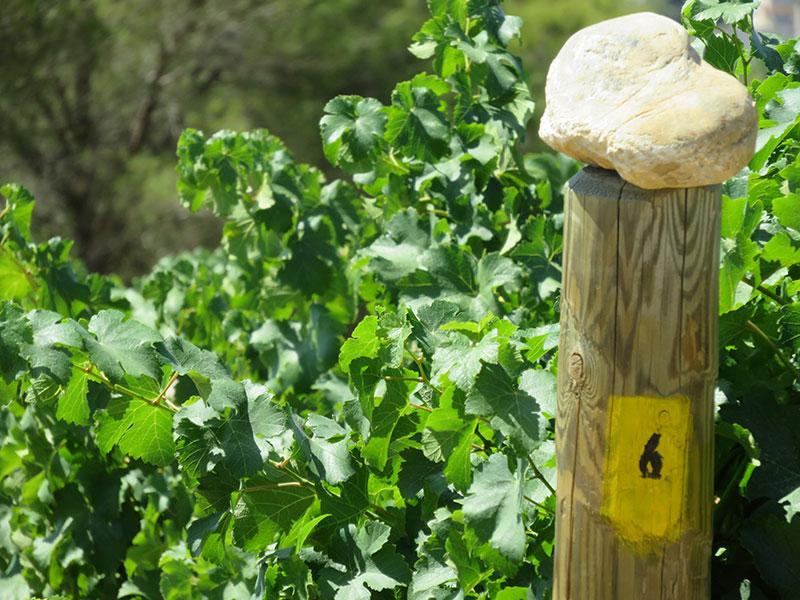 Passada de les vinyes del Celler Can Casals a Sant Esteve Sesrovires
