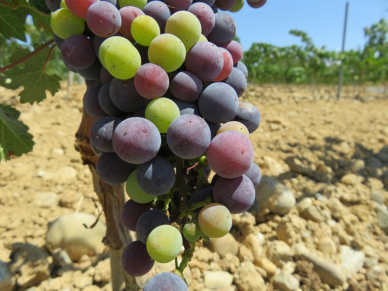 Raïm verolat a les vinyes del Celler Can Casals a Sant Esteve Sesrovires