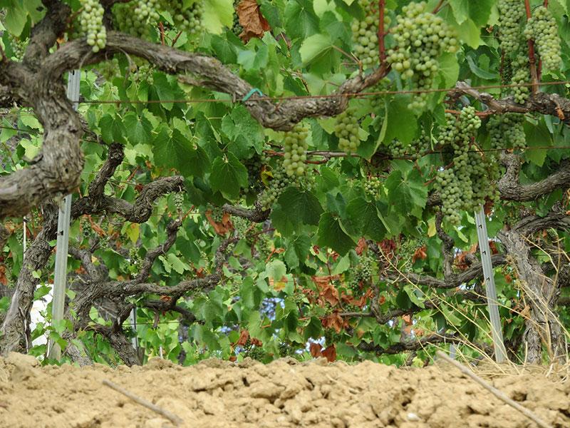 Vinyes del Celler Can Casals